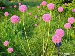 Продам луковицы Луки Раннецветущие и много других растений