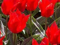 Продам луковицы Тюльпанов Грейга и много других растений