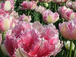 Продам луковицы Тюльпанов Махровых Бахромчатый
