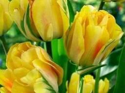 Продам луковицы Тюльпанов Махровых Многоцветковых