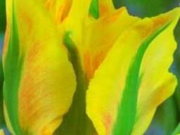 Продам луковицы Тюльпанов Виридифлора