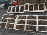 Продам маточный корень малины и ежевики - фото 2