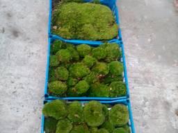 Продам мох для стабілізації