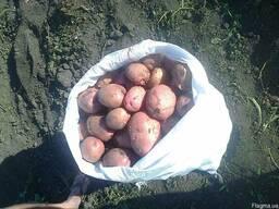 Продам молодой картофель Бела Роса
