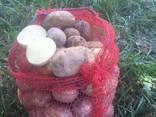 Продам молодой картофель, Киевская обл - фото 2