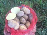 Продам молодой картофель, Киевская обл - фото 3