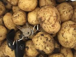 Продам молодой картофель, отличного качества. Сорт Ривьера