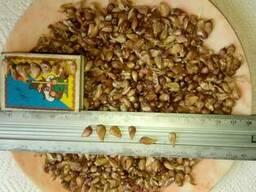Продам насіння часнику Воздушка сорт Любаша, Мерефіанський
