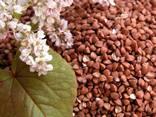 Продам насіння гречки, сорт Гранбі( Канада), Днепропетровска - фото 1