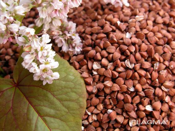Продам насіння гречки, сорт Гранбі( Канада), Днепропетровска