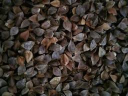 Продам насіння гречки, сорту Українка