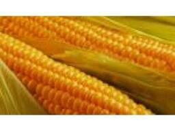 """Продам насіння кукурудзи """"Афіна"""" (гібрид)"""
