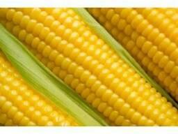 """Продам насіння кукурудзи """"Муасон"""" (гібрид)"""
