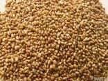 Продам насіння люцерни - фото 1