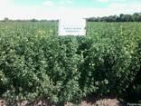Продам насіння люцерни власного виробництва - фото 1