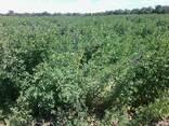 Продам насіння люцерни власного виробництва - фото 2