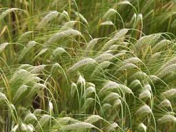 Продам насіння озимого ячменю - Хайлайт
