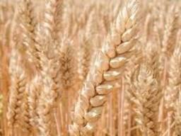 Продам насіння озимої м'якої пшениці сорт Богдана