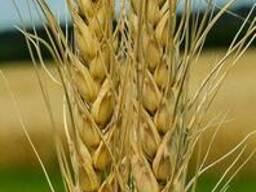 Продам насіння озимої пшениці