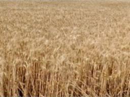 Продам насіння озимої пшениці - Щедрість одеська