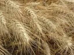 Продам насіння озимої пшениці сорт Пандія