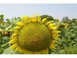 """Продам насіння соняшника """"Любаш"""" (гібрид)"""