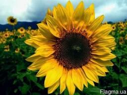 """Продам насіння соняшнику """"Карлос 105""""105дн."""