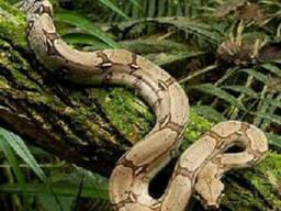 Продам Обыкновенный удав (Boa constrictor)