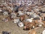 Продам одноденні і підрощені курчата Доминант - фото 2