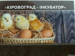 Продам оптом і в роздріб добових і підрощених курчат