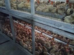Продам оптом і в роздріб добові курчата