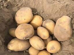 Продам оптом посадочный картофель. Сорта: Гранада, Пикассо