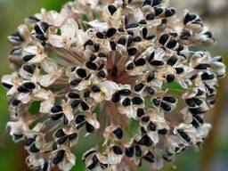 Продам оптом семена лука (чернушка) 170грн