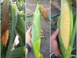 Продам оптом суперсладкую кукурузу в початках карамелло
