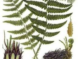 Продам Папоротник (Щитовник мужской) и много других растений
