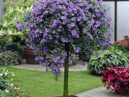 Паслен Рантонетти фиолетовый, белый.