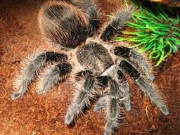 Продам пауки Брахипельма альбопилозум ( albopilosum )