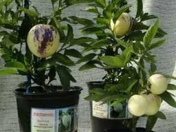 Продам Пепино (комнатное растение) и много других растений