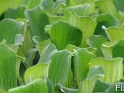 Продам Пистию, водное растение и много других растений