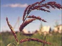 Продам просо семенное (Козацьке,Омріяне і Ювілейне)
