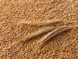Продам пшеницу ( 2. 3. 4. 5. класс ) FOB Одесса