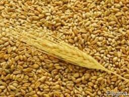 Продам пшеницу 6 класс