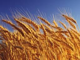 Продам пшеницу 283т 3 кл