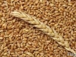 Компания купит пшеницу фуражную с места, элеватор, CPT.