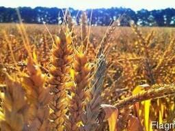 Продам пшеницу Шестопаловка
