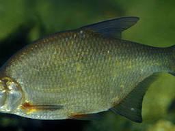 Куплю речную, живую рыбу ОПТОМ