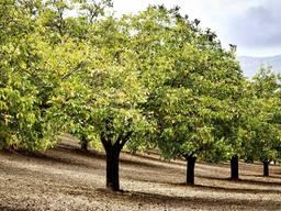 Продам сад грецкого ореха площадью 50га, земля, саженцы орех