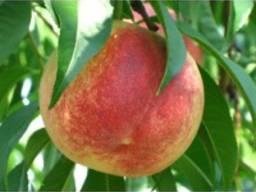 Продам садженці персика