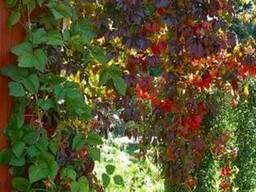 Продам саженцы Дикий Виноград (Девичий виноград)