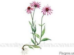 Продам саженцы Эхинацеи и много других растений
